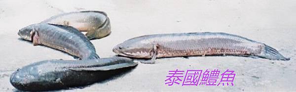 魚寶寶寫真館-魚泰國鱧魚