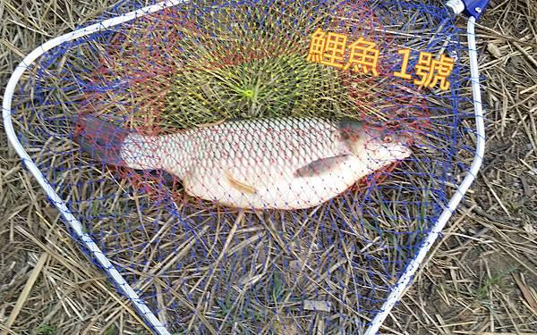 魚寶寶寫真館-鯉魚01