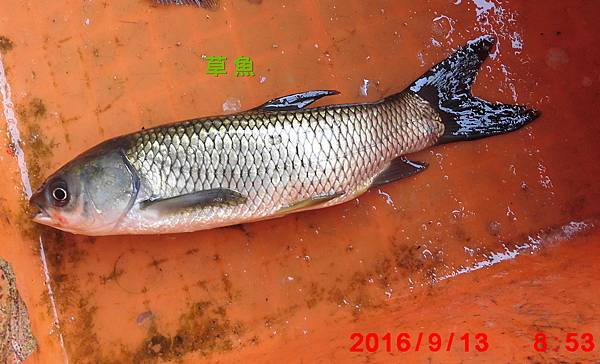 1050913-CIMG7383草魚.jpg