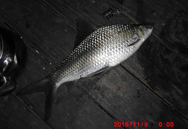 1051109-CIMG7486鯁魚.jpg