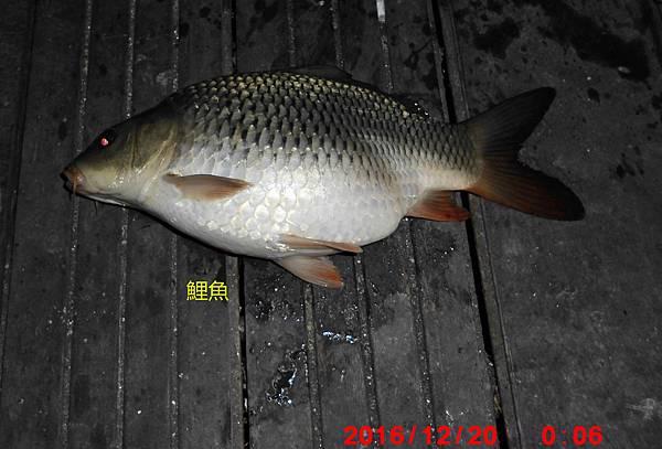 1051220-CIMG7544鯉魚.jpg