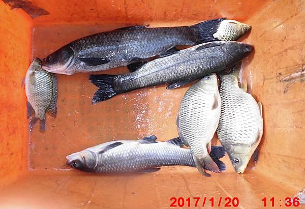 1060120-CIMG7614漁獲.jpg