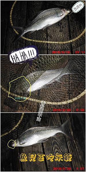 鯁魚正吃示範拼圖.jpg