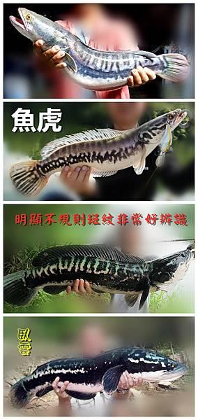 1100124-魚虎.jpg