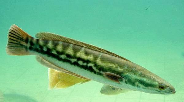 1100124-魚虎-2.jpg