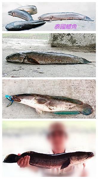 1.1100124-泰國鱧魚.jpg