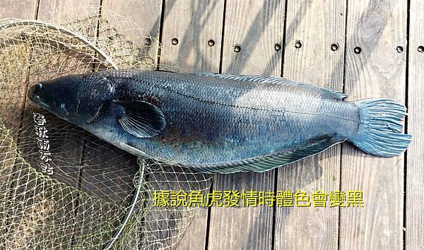 魚虎.jpg