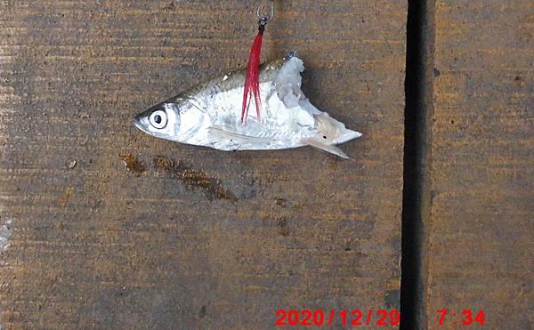 1091229-釣魚虎-1.jpg