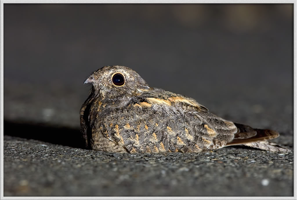 DSC_0371-Allied-Nightjar-.jpg