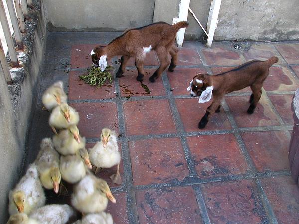 屋頂養的小山羊跟小鵝