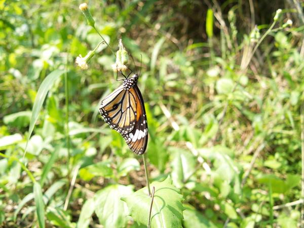 蝴蝶-三峽