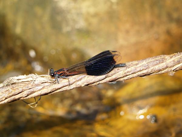蜻蜓-三峽