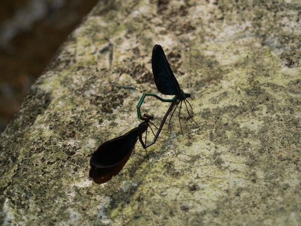蜻蜓交配-三峽
