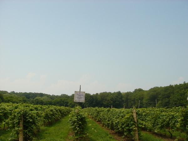 0704 vineyard
