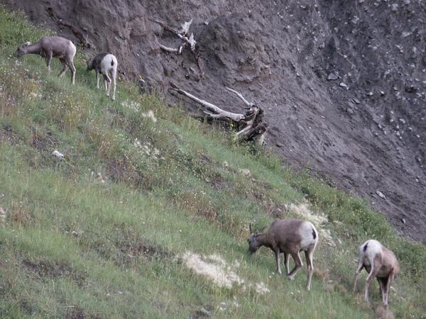 0817 goat