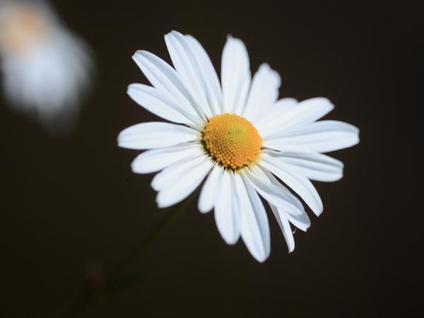%5Bwall001_com%5D_Chrysanthemum_flower_0155378.jpg