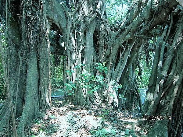 百年老樹1