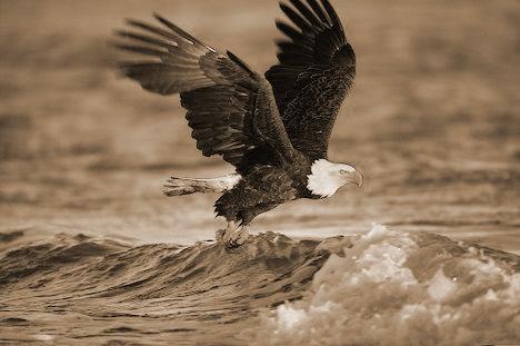 kachemak-bay-bald-eagle-fishing_6643.jpg