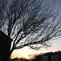 老樹  夕照
