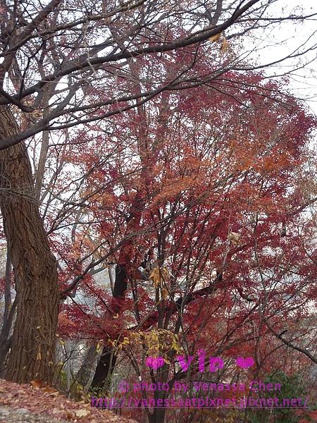 梨花女子大學.楓樹。
