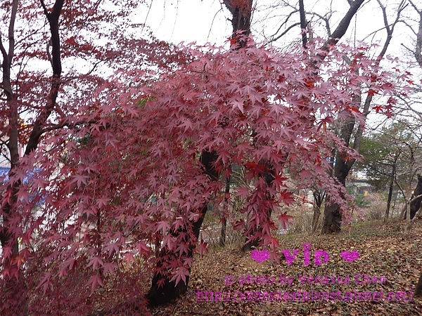 仁川.自由公園.楓樹。