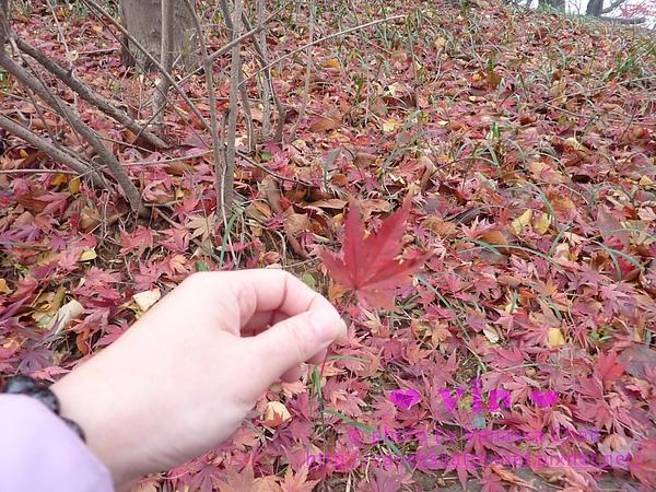 仁川.自由公園.紅楓葉片。