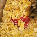 另一隻小鼠仔