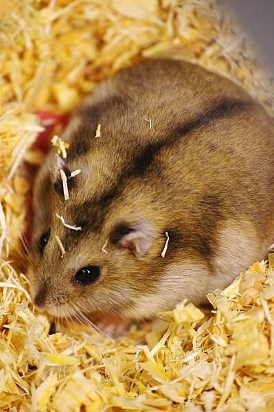 鼠媽媽-擦擦