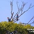 三寶鳥.jp