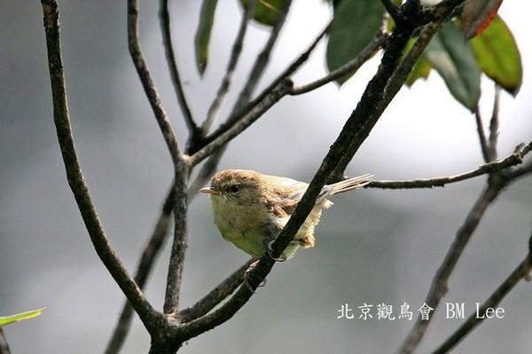 異色樹鶯AberrantBushWarbler