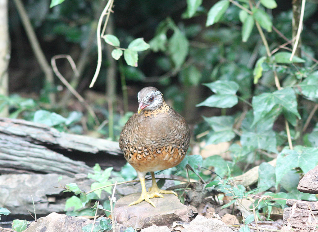 00209綠腳山鷓鴣Scaly breasted Partridge Arborophila chloropus2.jpg