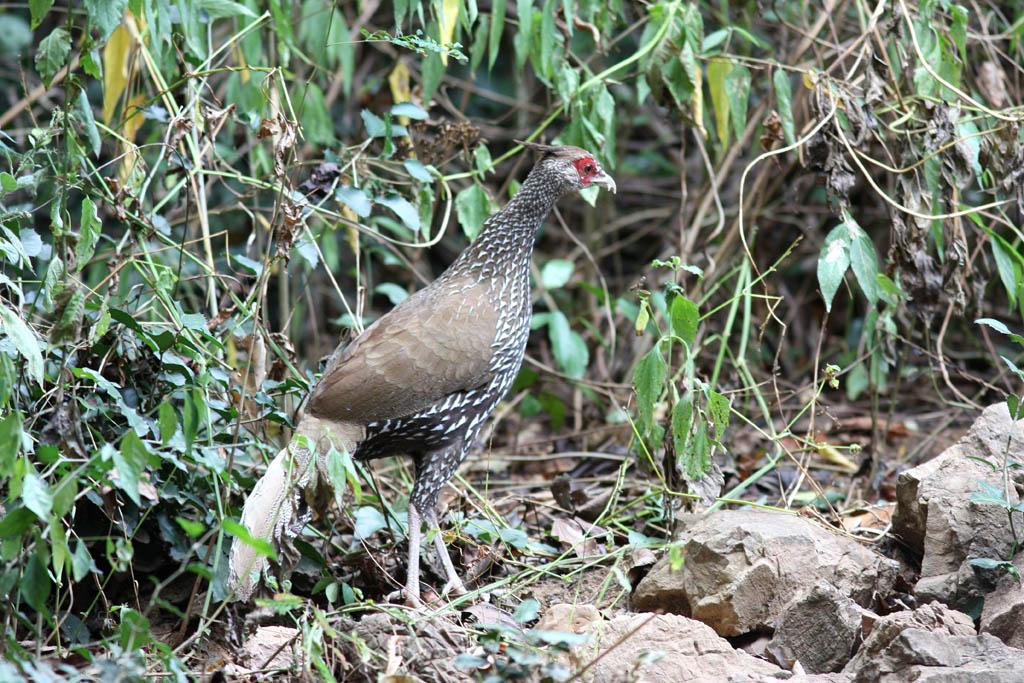 00302黑鷳Kalij Pheasant Lophura leucomelanos lineata2.jpg