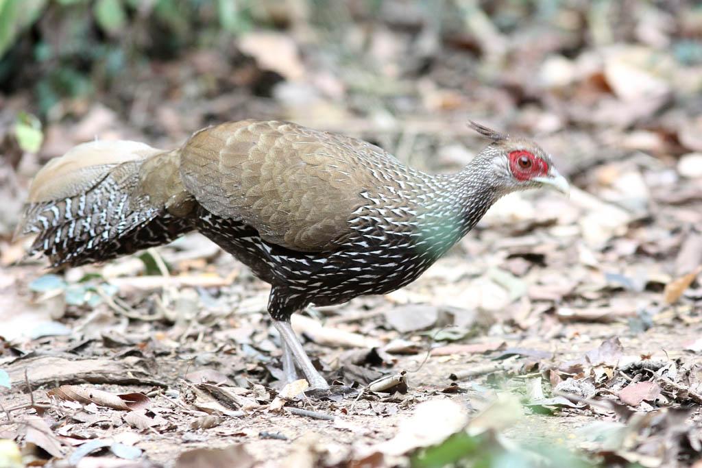 00302黑鷳Kalij Pheasant Lophura leucomelanos lineata3.jpg