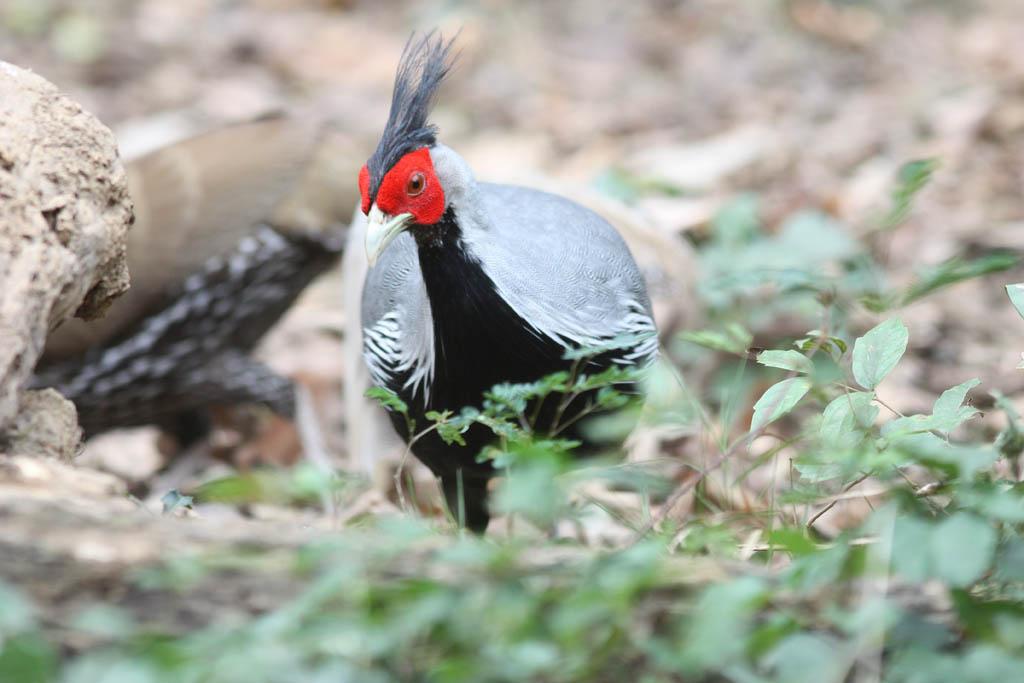 00302黑鷳Kalij Pheasant Lophura leucomelanos lineata9.jpg