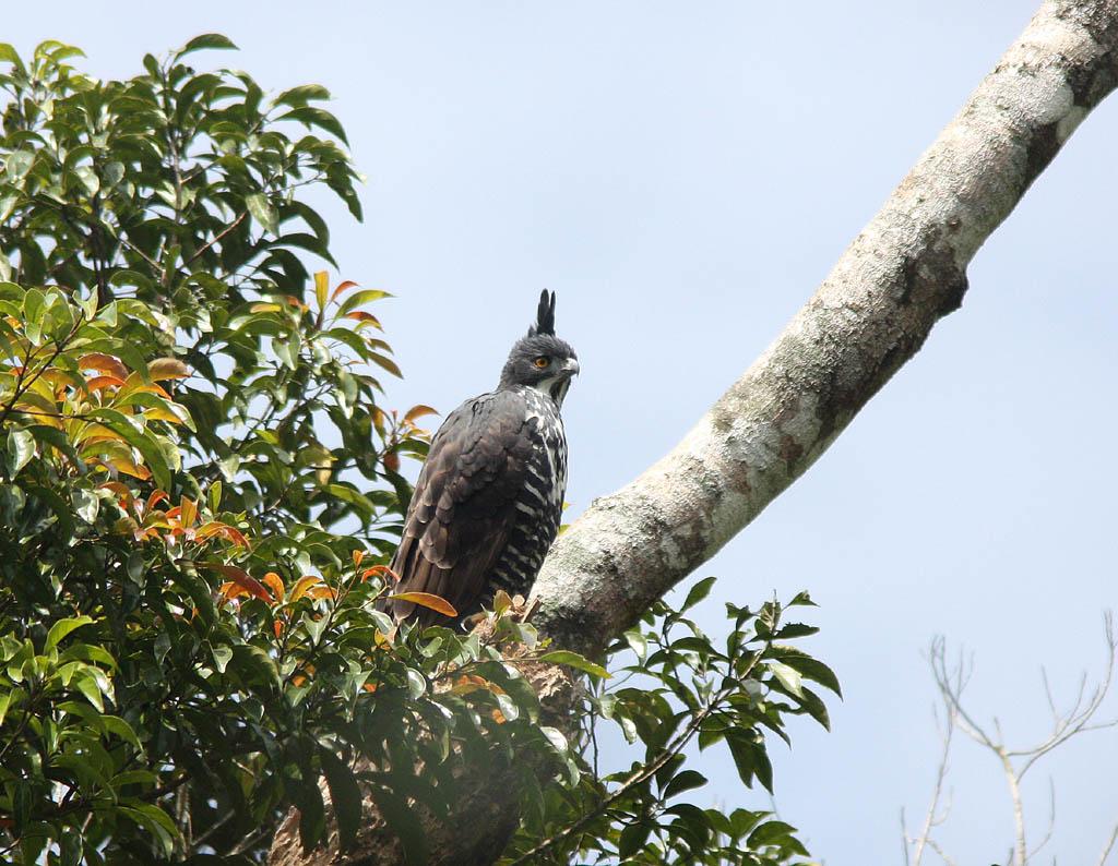 02702馬來鷹鵰Blyths Hawk Eagle Spizaetus alboniger.jpg