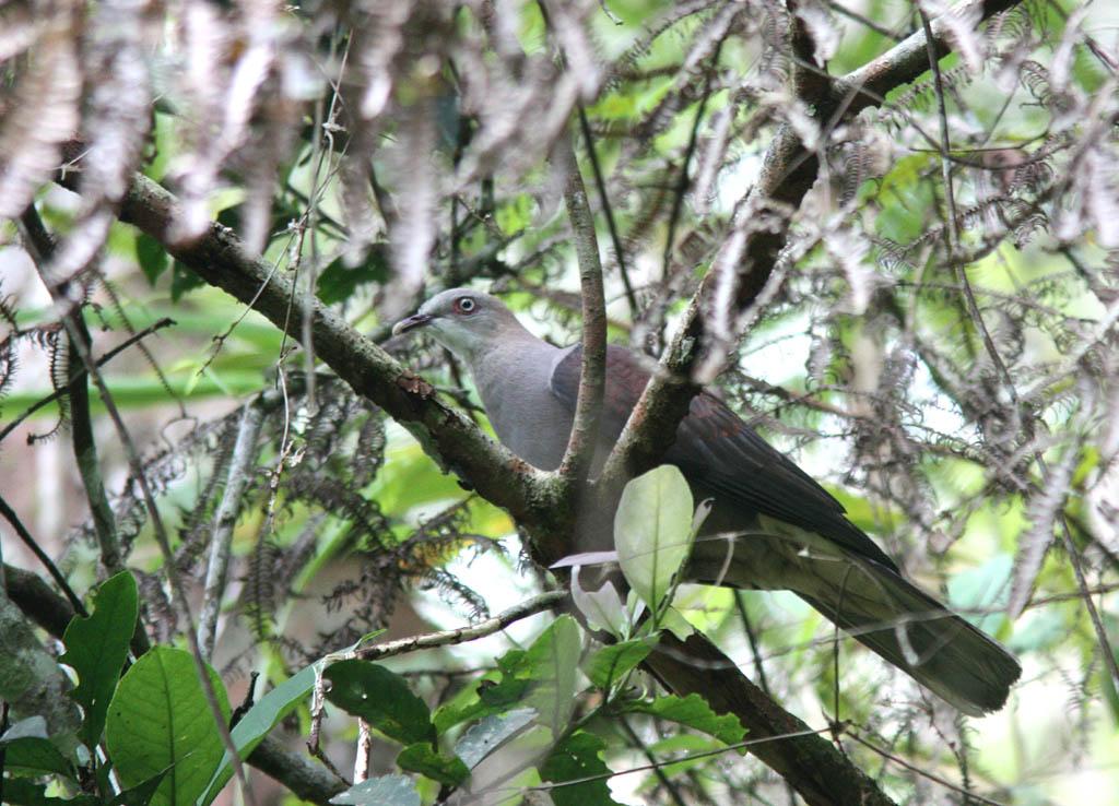 04509山皇鳩Mountain Imperial Pigeon Ducula badia.jpg