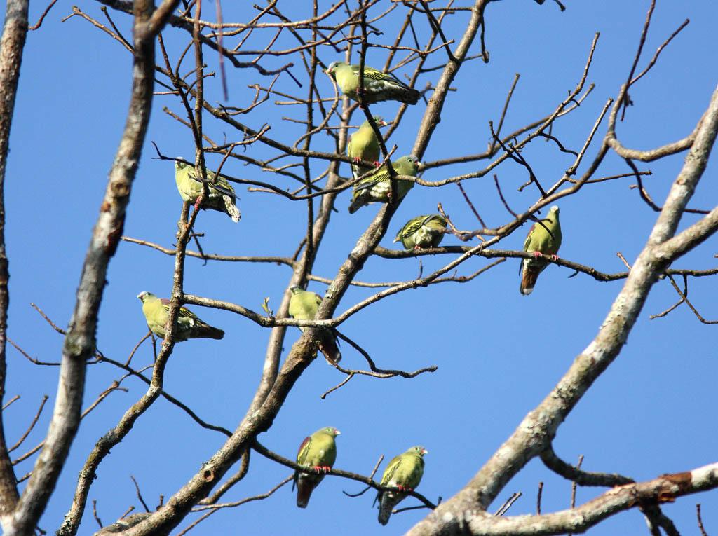 04707厚嘴綠鳩Thick billed Pigeon Treron curvirostra.jpg