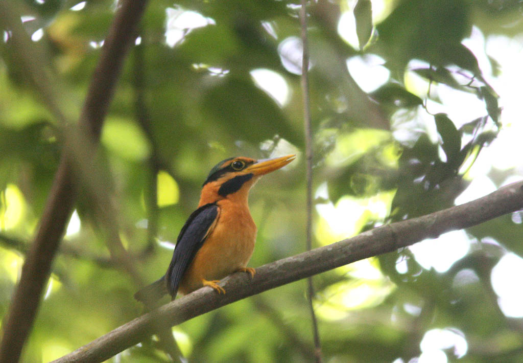 05701栗領翡翠Rufous collared Kingfisher Actenoides concretus1.jpg