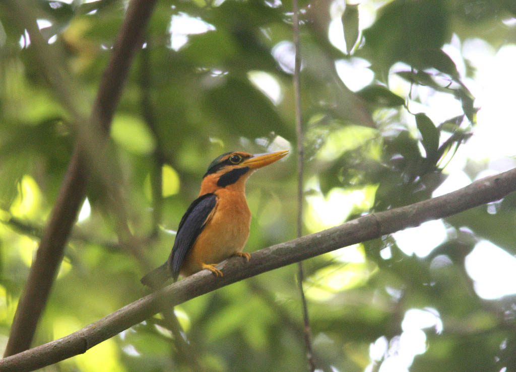 05701栗領翡翠Rufous collared Kingfisher Actenoides concretus2.jpg