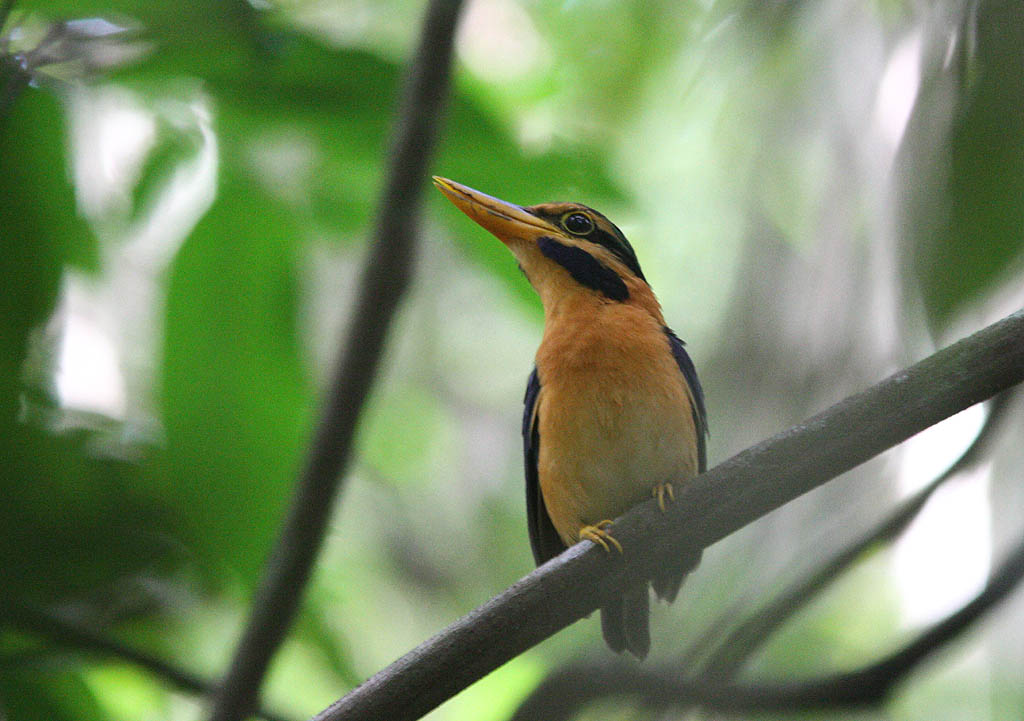05701栗領翡翠Rufous collared Kingfisher Actenoides concretus3.jpg