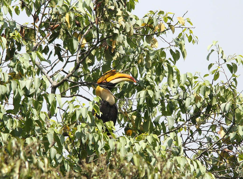05906雙角犀鳥Great Hornbill Buceros bicornis1.jpg