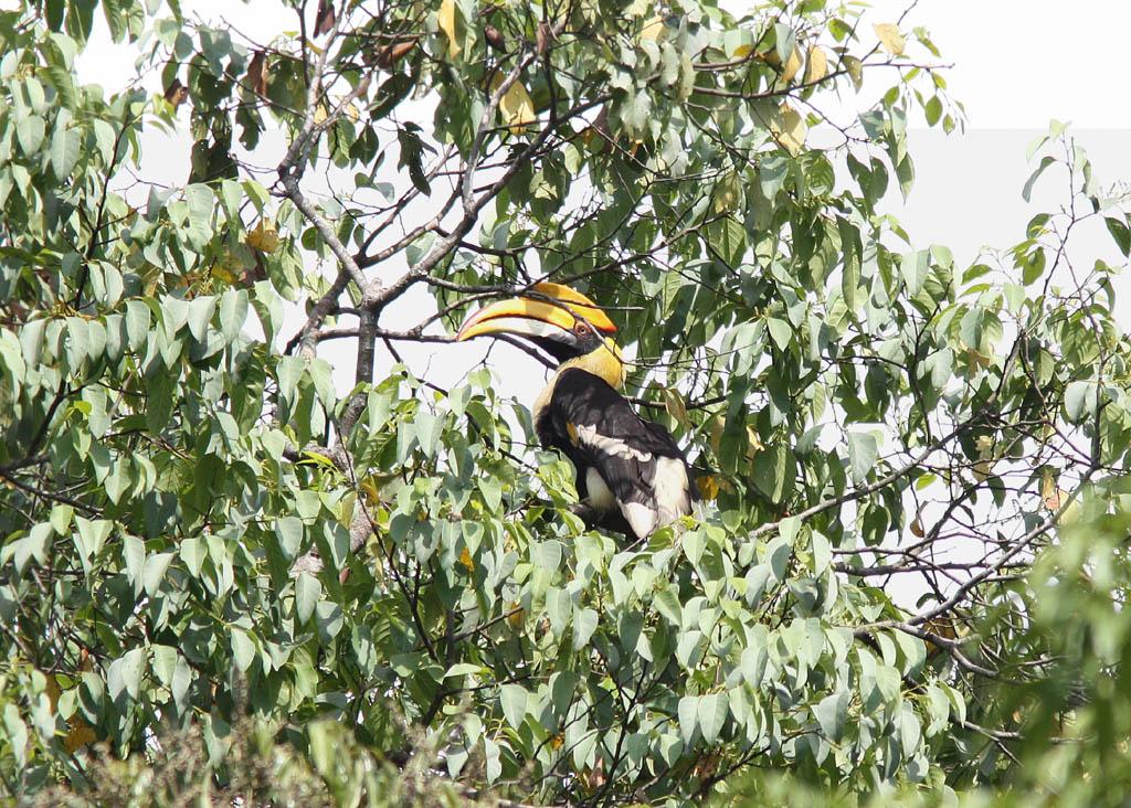05906雙角犀鳥Great Hornbill Buceros bicornis2.jpg