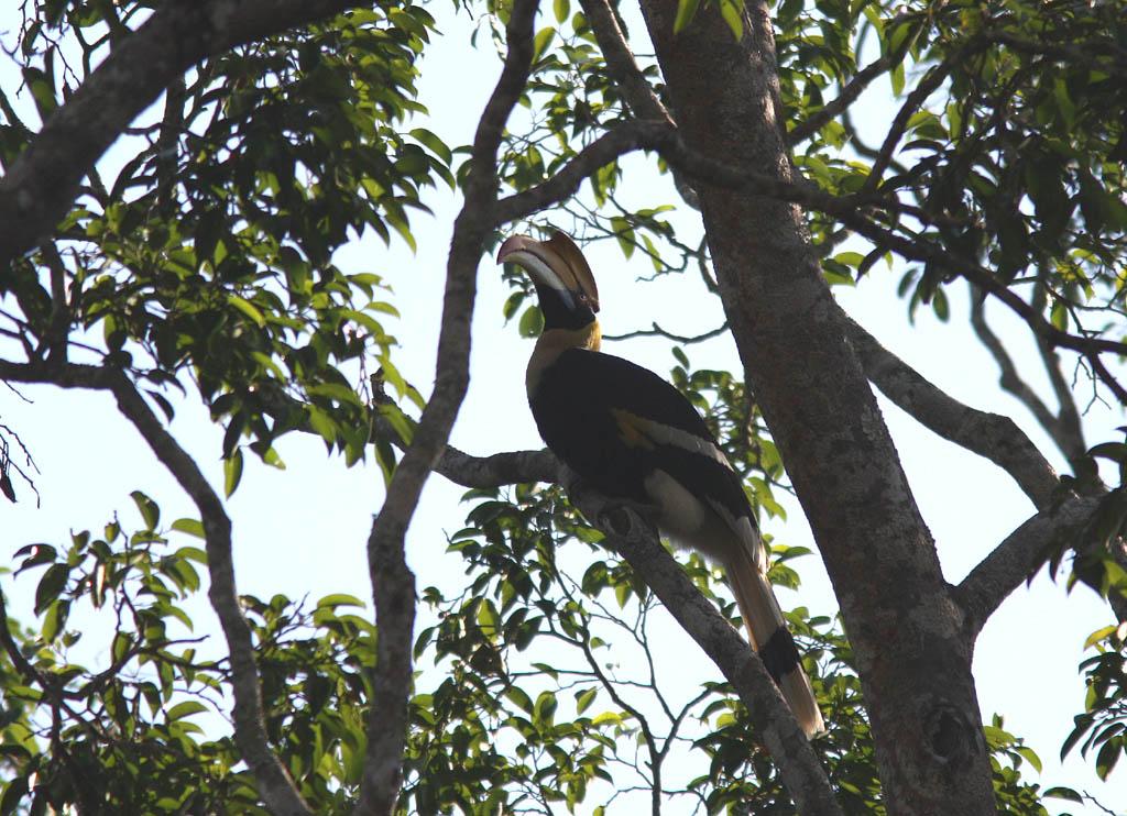 05906雙角犀鳥Great Hornbill Buceros bicornis3.jpg