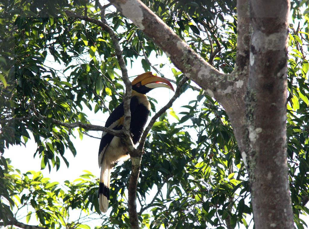 05906雙角犀鳥Great Hornbill Buceros bicornis4.jpg