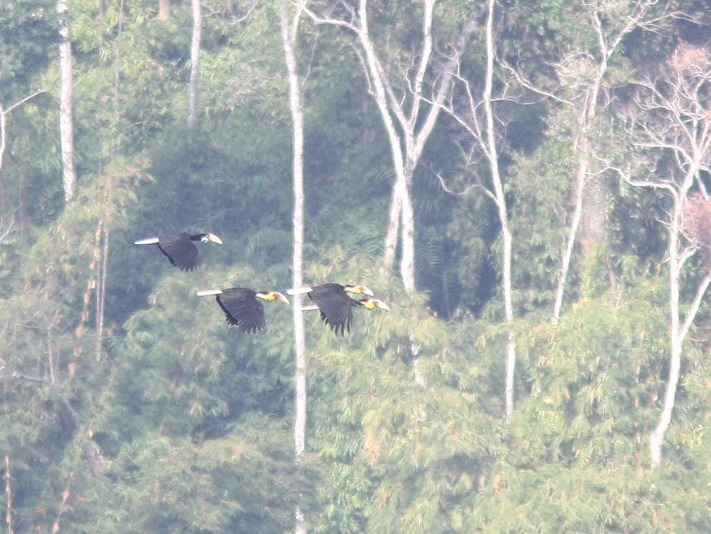 05913花冠皺盔犀鳥Wreathed Hornbill Aceros undulatus.jpg