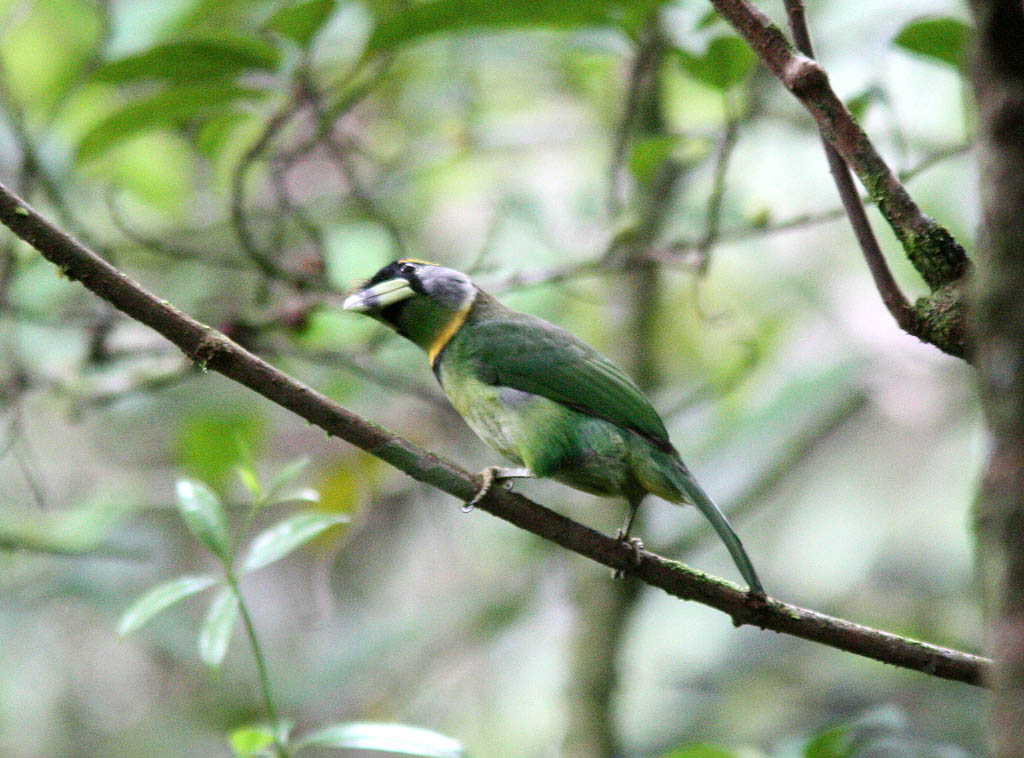 06001火簇擬鴷Fire tufted Barbet Psilopogon pyrolophus1.jpg