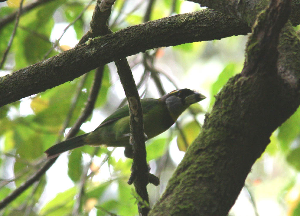 06001火簇擬鴷Fire tufted Barbet Psilopogon pyrolophus2.jpg