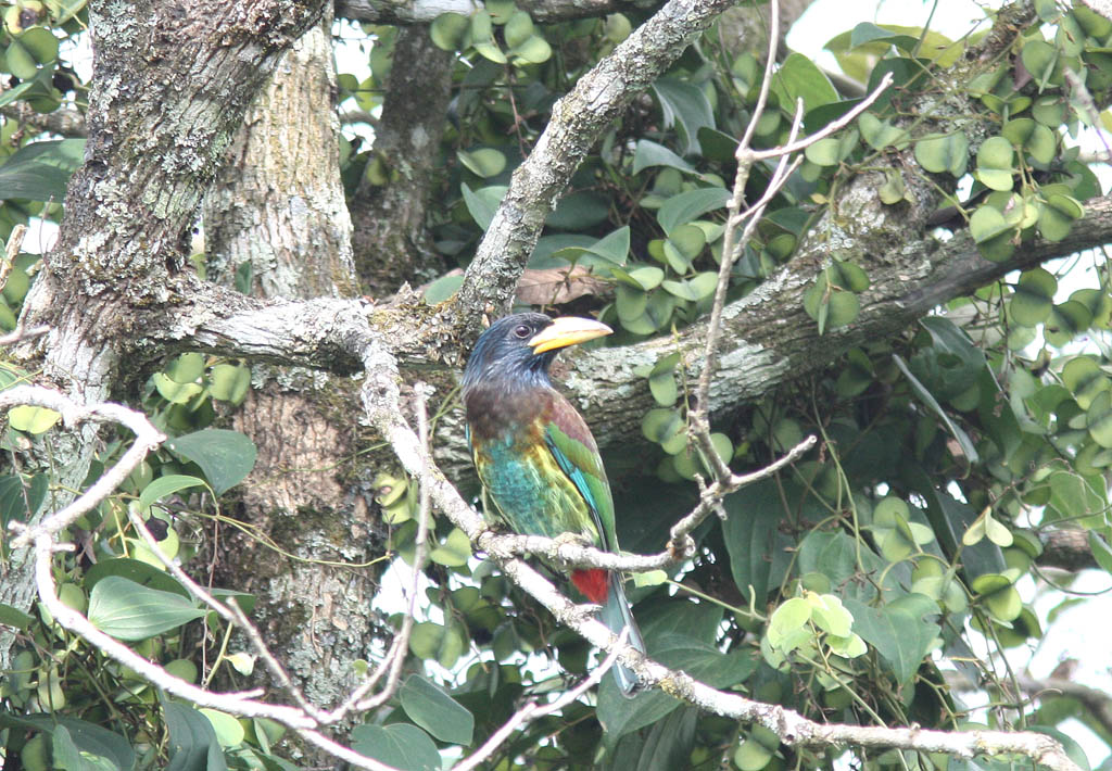 06002大擬啄木鳥Great Barbet Megalaima virens2.jpg