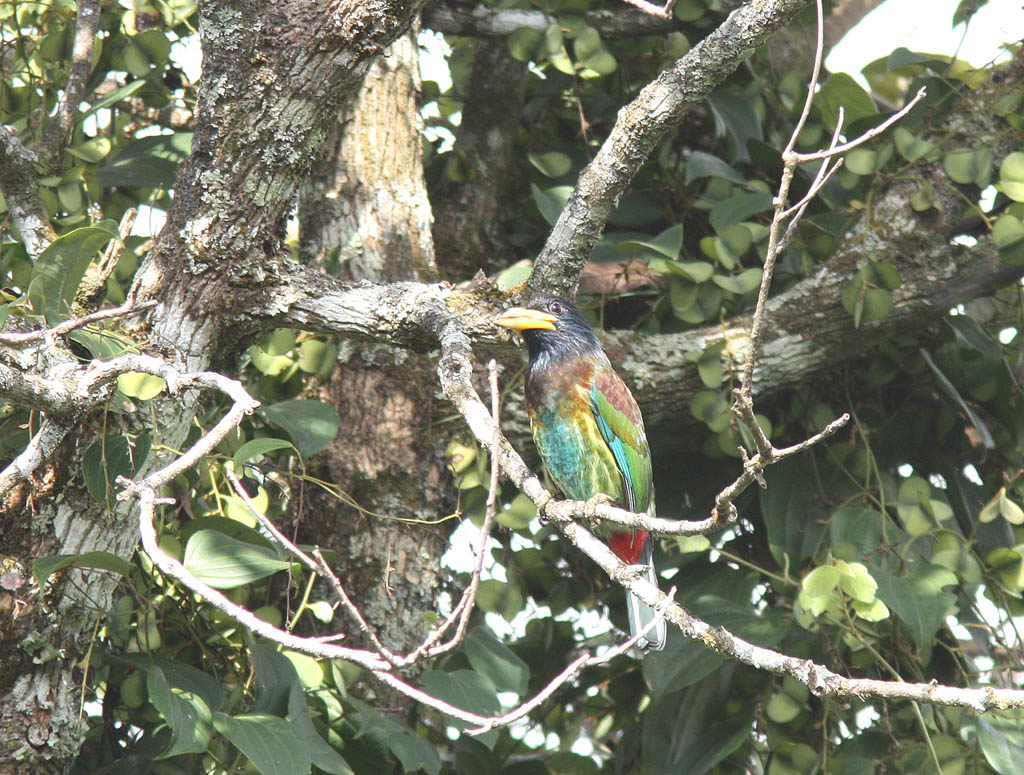 06002大擬啄木鳥Great Barbet Megalaima virens4.jpg