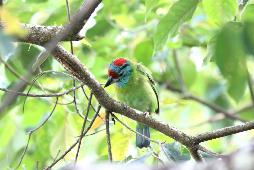 06013休氏擬鴷Moustached Barbet Megalaima incognita2.jpg
